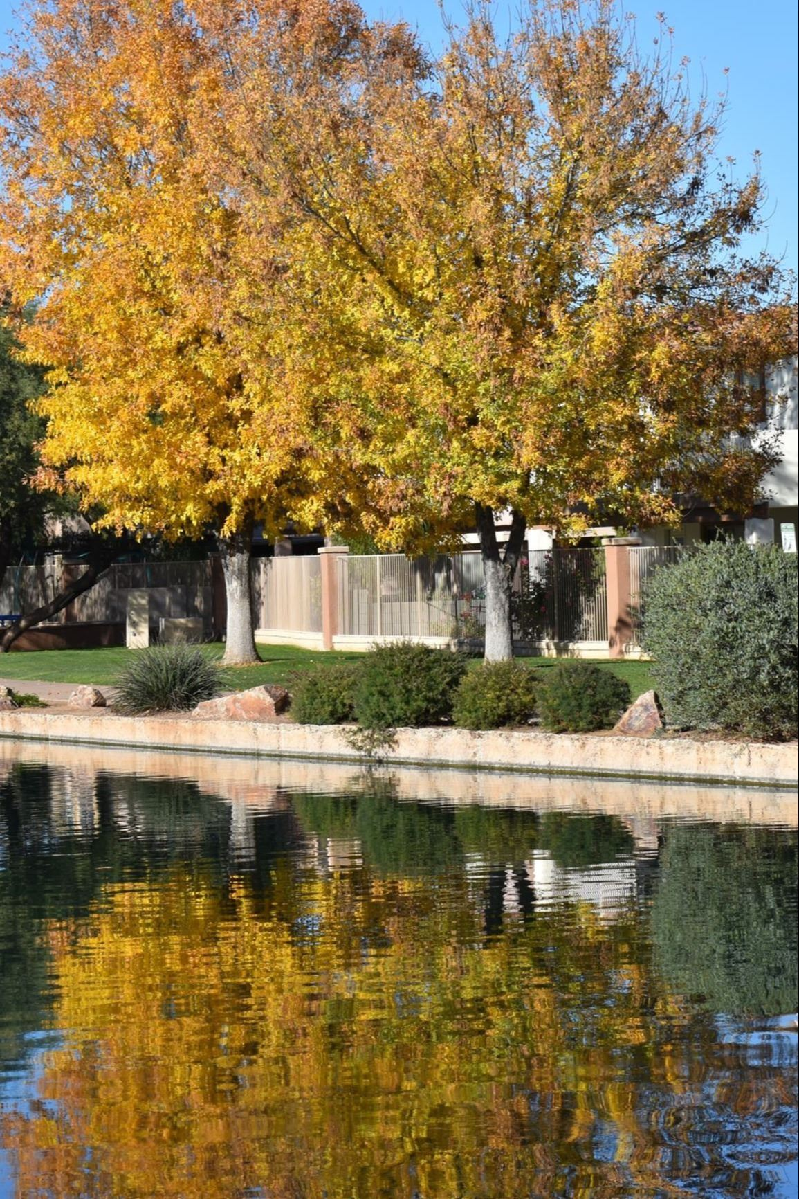 Tree with yellow leaves at Sahuarita Lake Park